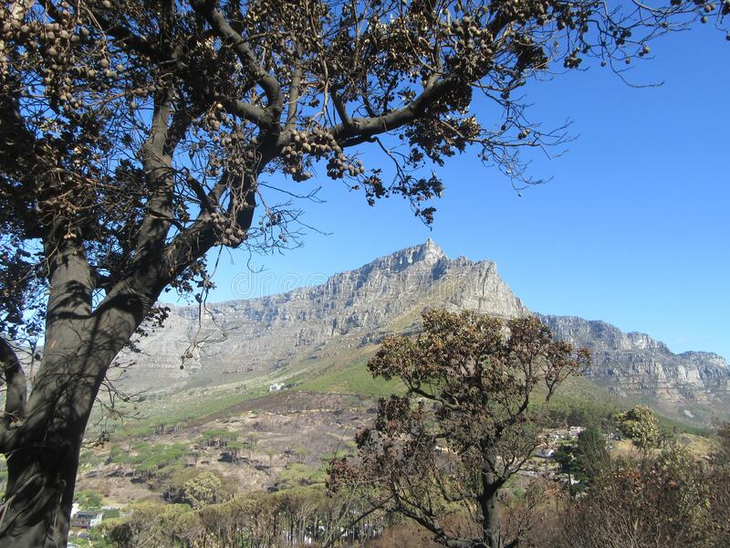 Burnt trees with a background of Table Mountain stock photography