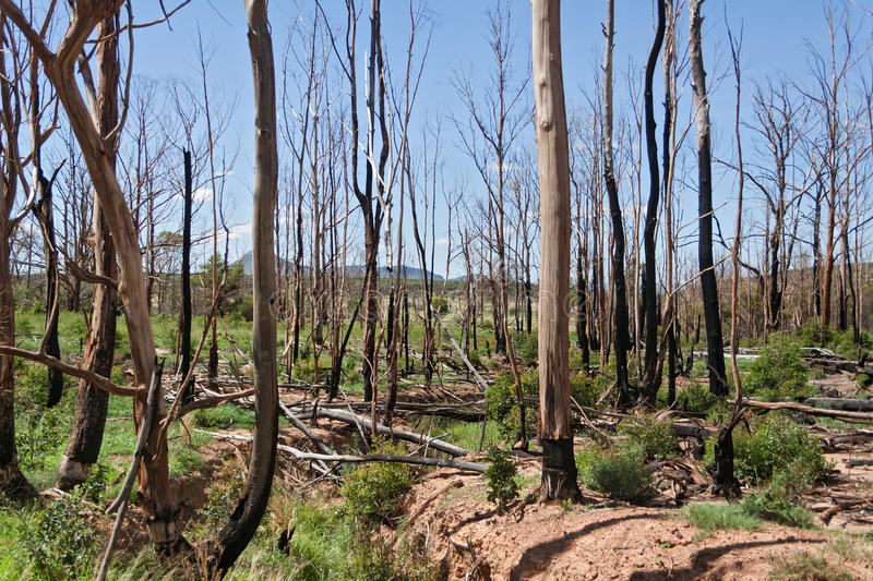 Burnt trees in the south of Marakele National Park. Landscape with burnt trees in the south of Marakele National Park, South Africa stock image