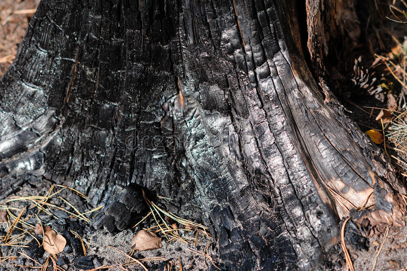 Burnt wood texture. In autumn forest royalty free stock images