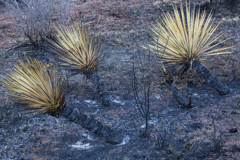 Download Wildfire burnt yucca stock photo. Image of green, collins - 30220536