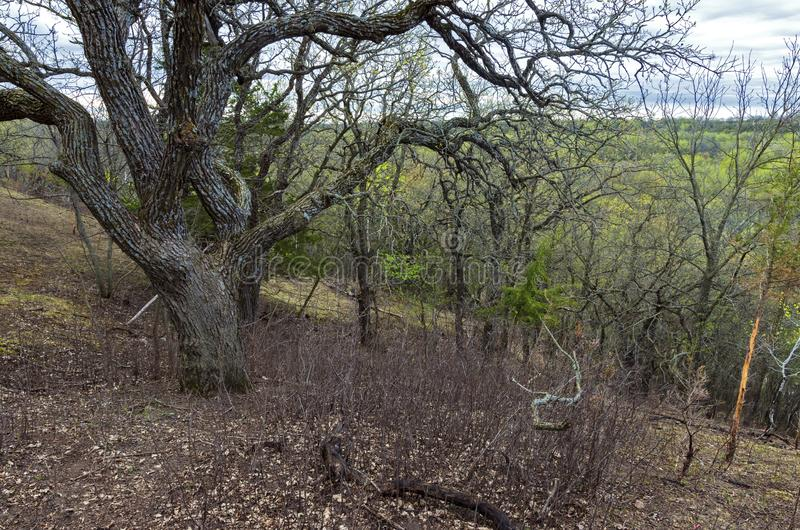 Burr Oak Atop Wooded Hills and Valleys of Flandrau State Park. Atop wooded hills of flandrau state park overlooking valley near new ulm minnesota royalty free stock image