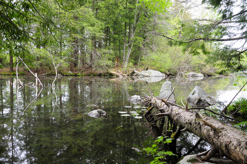 Burr Pond State Park Torrington Connecticut. A fallen hemlock tree onto the waters of Burr Pond in the springtime located in Torrington connecticut royalty free stock image