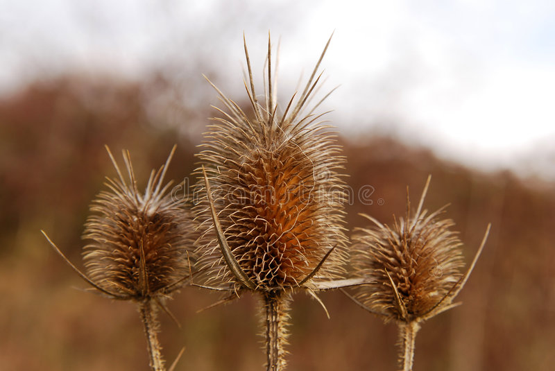 Burr of Teasel Comb (Dispacus sylvestris). Burrs on hills of Transylvania (Romania). A burr is a seed or dry fruit in which the seeds bear hooks or teeth which royalty free stock photography