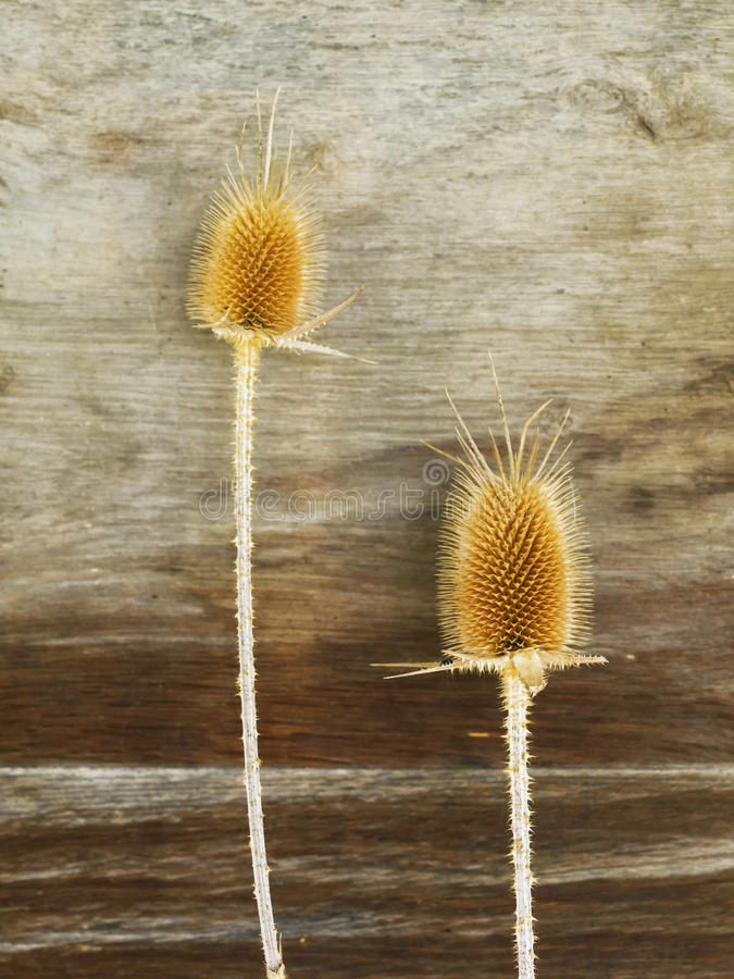 Burr of Teasel Comb (Dispacus sylvestris). A burr is a seed or dry fruit in which the seeds bear hooks or teeth which attach themselves to fur or clothing of royalty free stock images