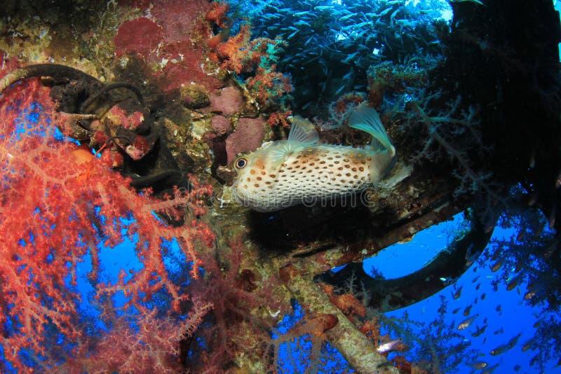 Burrfish de Yellowspotted imagem de stock