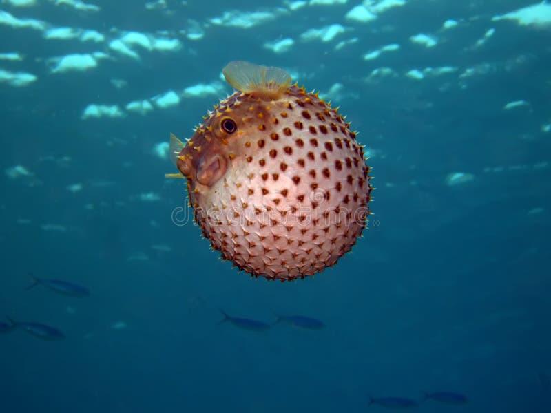 Burrfish di Yellowspotted fotografie stock