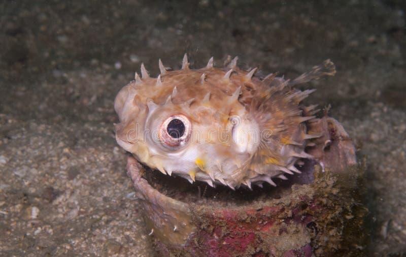 Burrfish, pufferfish dans une tasse sous-marine photographie stock