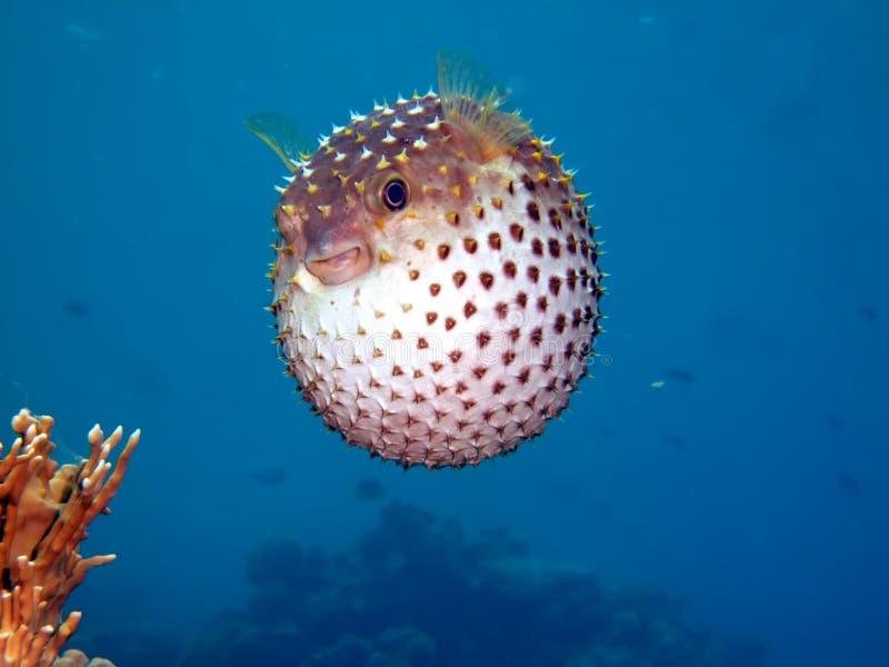 burrfish yellowspotted zdjęcia royalty free