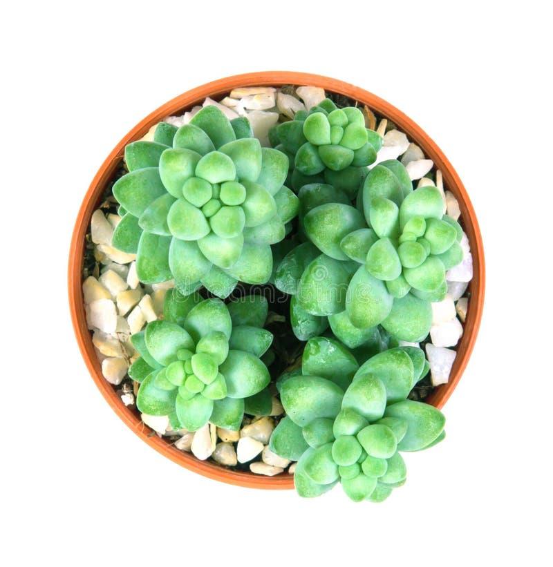 Burrito Moran, planta de Sedum de los succulents en pote en el backgroun blanco fotos de archivo libres de regalías