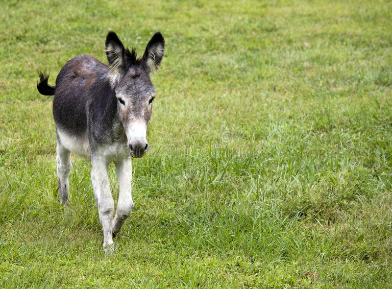 Burro Royalty Free Stock Images