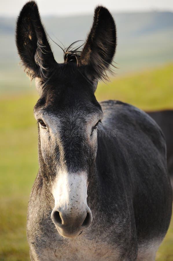 burro royaltyfri foto