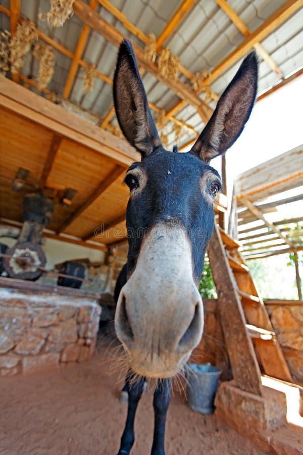Burro de la granja divertida con los oídos largos imagen de archivo libre de regalías