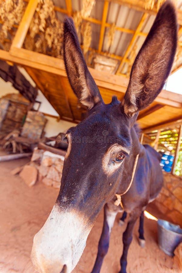 Burro de la granja divertida con los oídos largos fotos de archivo libres de regalías