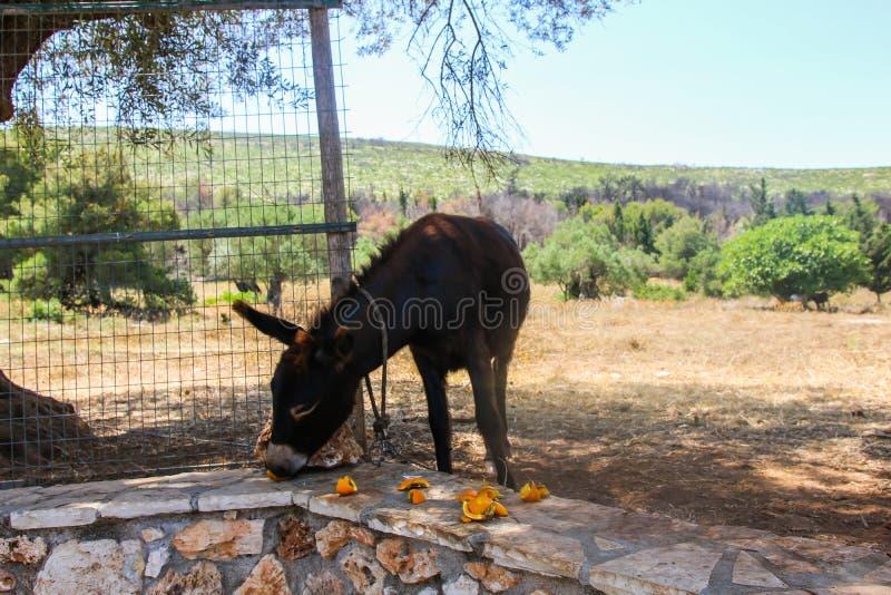 Burro domesticado que come las frutas anaranjadas fotos de archivo
