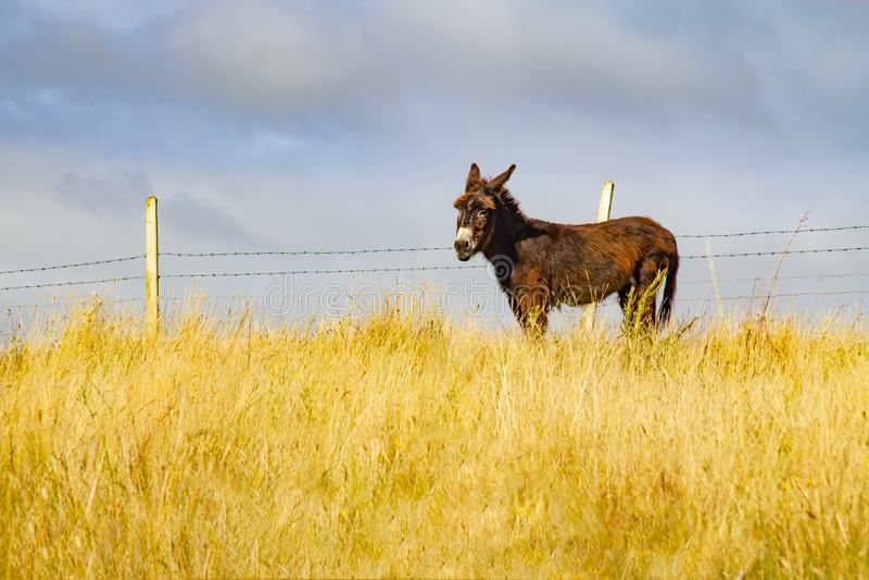 Burro en un campo de granja en ruta del Greenway de Castlebar a Westp fotografía de archivo libre de regalías