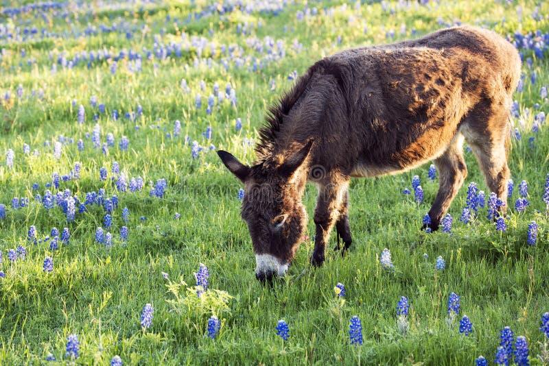 Burro het Weiden in een Bluebonnet Gevulde Weide stock foto