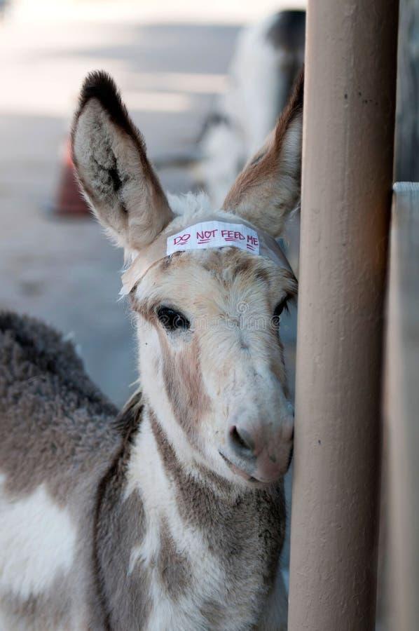 Download Burro novo foto de stock. Imagem de animal, asno, mane - 26517530