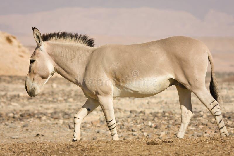 Burro selvagem africano imagem de stock royalty free