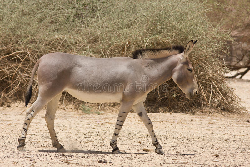 Burro selvagem africano imagens de stock royalty free