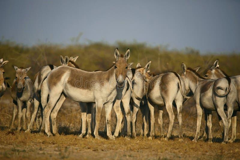 Burro selvagem asiático, khur do hemionus do Equus, pouco Rann de Kutch, Gujarat fotografia de stock