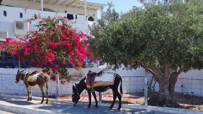 Burros el símbolo de la isla de Santorini imagenes de archivo