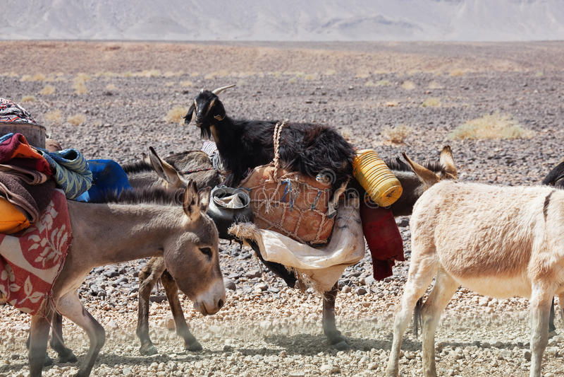 Burros que llevan mercancías y una cabra. imagenes de archivo