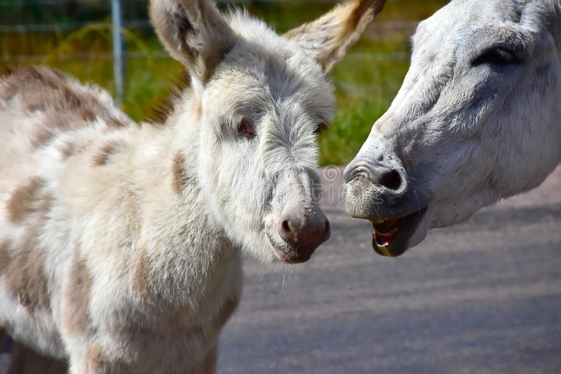 Burros sauvages au parc d'état de Custer le Dakota du Sud photos stock