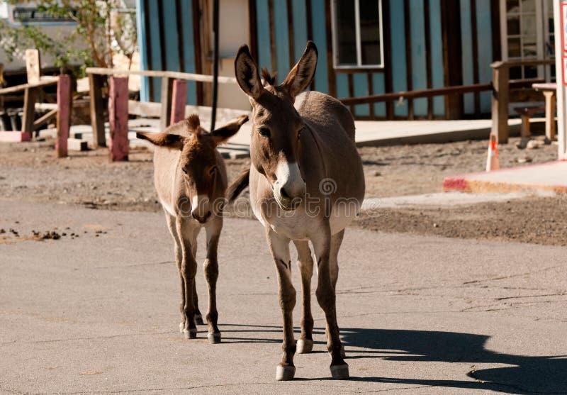 Download Burros Selvagens Em Oatman, O Arizona Imagem de Stock - Imagem de mane, asno: 26517505