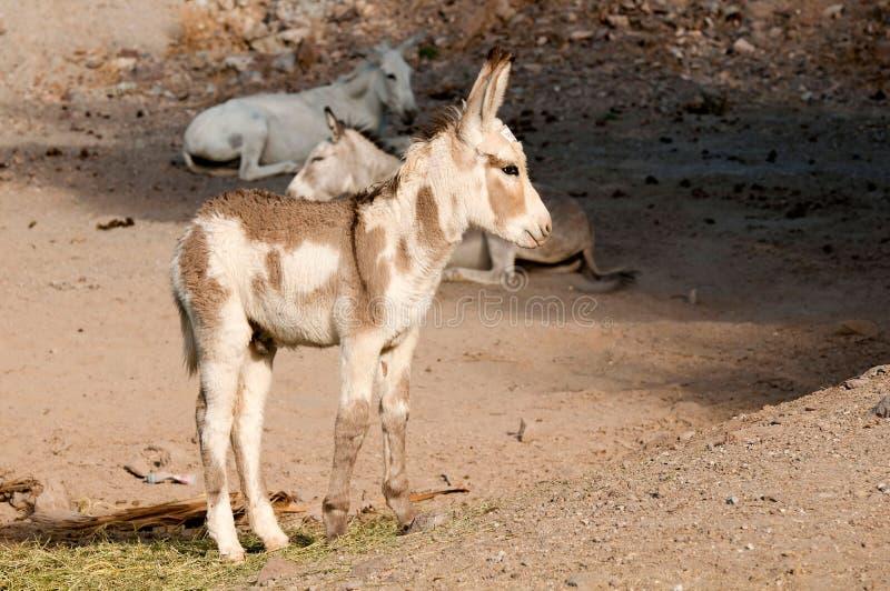 Download Burros Selvagens Em Oatman, O Arizona Imagem de Stock - Imagem de jackass, mula: 26517523