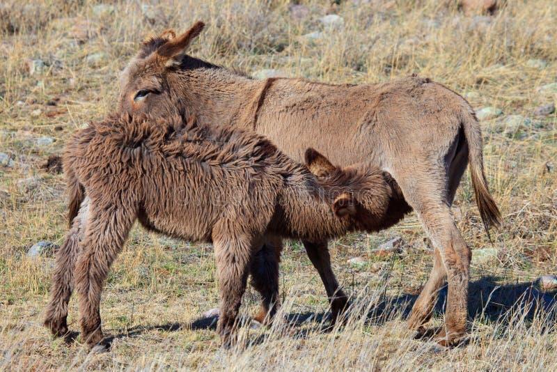 Burros selvaggi che curano sulla madre immagini stock