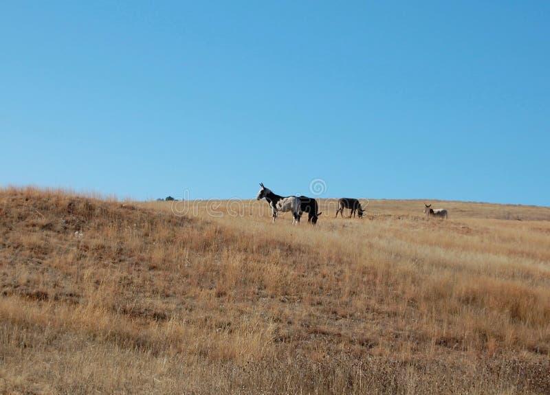 Burros selvaggi a Custer State Park in Sud Dakota fotografia stock libera da diritti