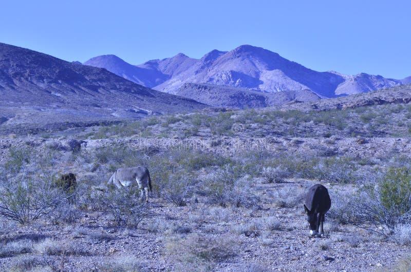Burros selvaggi nel paesaggio del deserto del Mojave fotografie stock