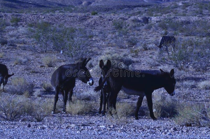 Burros selvaggi nel paesaggio del deserto del Mojave fotografia stock libera da diritti