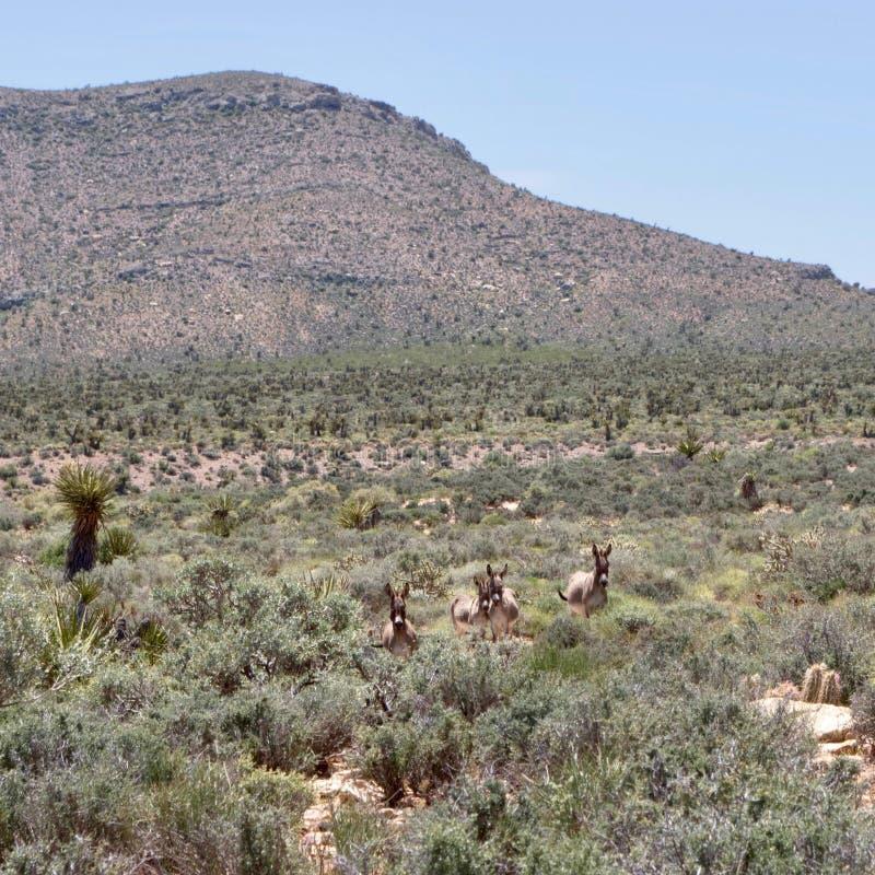 Burros selvaggi nell'area rossa di conservazione della roccia, Nevada del sud, U.S.A. fotografie stock libere da diritti
