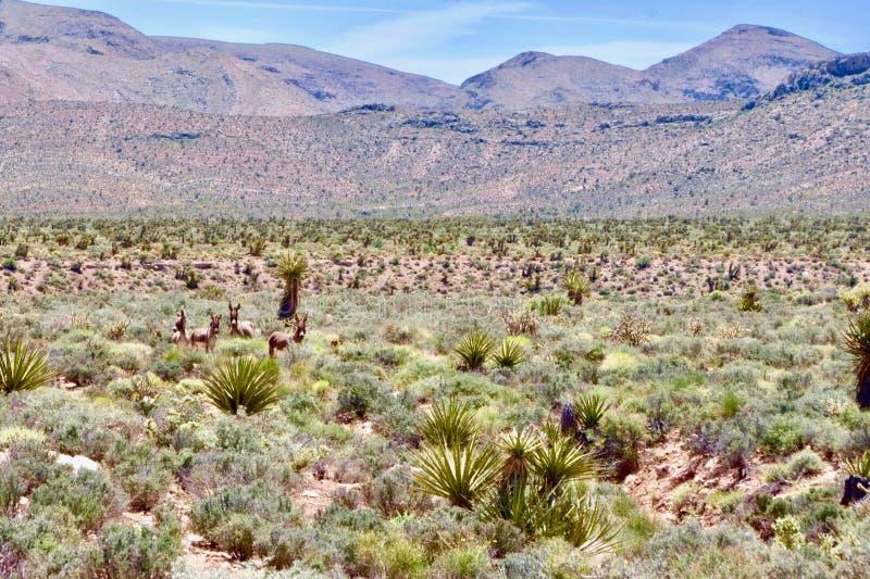 Burros selvaggi nell'area rossa di conservazione della roccia, Nevada del sud, U.S.A. immagini stock libere da diritti