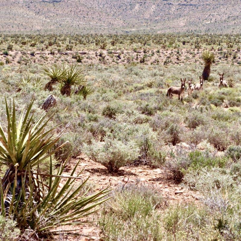 Burros selvaggi nell'area rossa di conservazione della roccia, Nevada del sud, U.S.A. fotografie stock