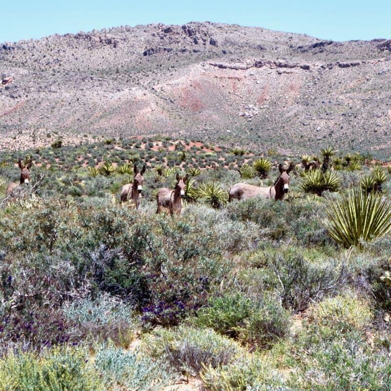 Burros selvaggi nell'area rossa di conservazione della roccia, Nevada del sud, U.S.A. immagine stock libera da diritti