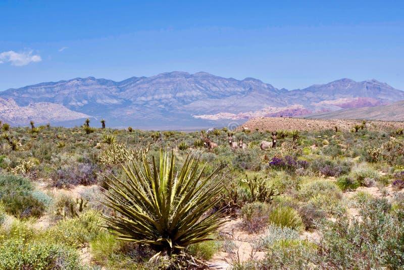Burros selvaggi nell'area rossa di conservazione della roccia, Nevada del sud, U.S.A. fotografia stock libera da diritti