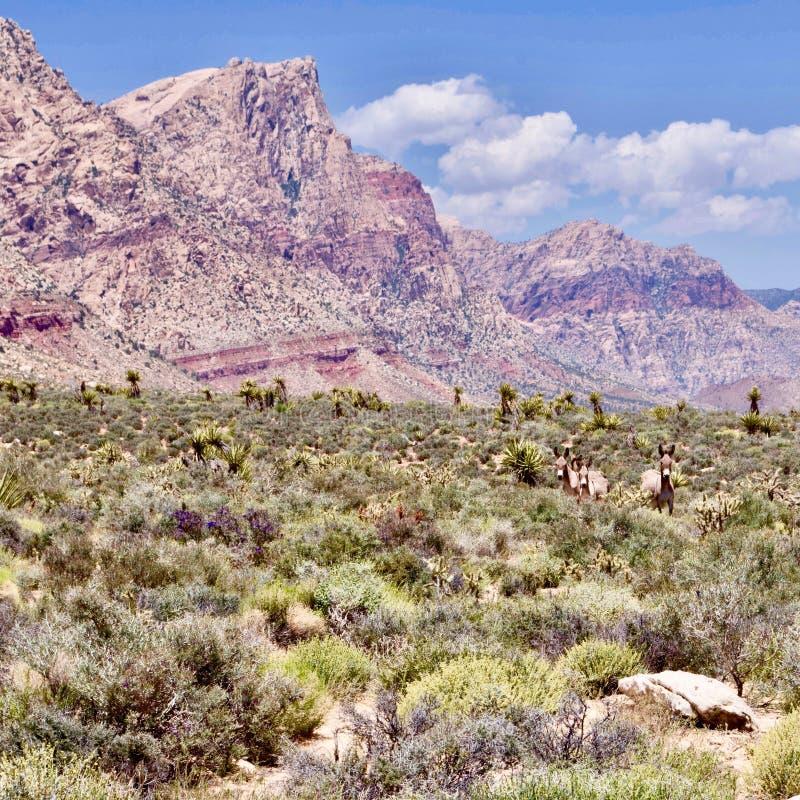 Burros selvaggi nell'area rossa di conservazione della roccia, Nevada del sud, U.S.A. immagine stock