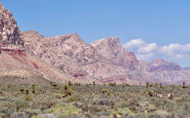 Burros selvaggi nell'area rossa di conservazione della roccia, Nevada del sud, U.S.A. fotografia stock