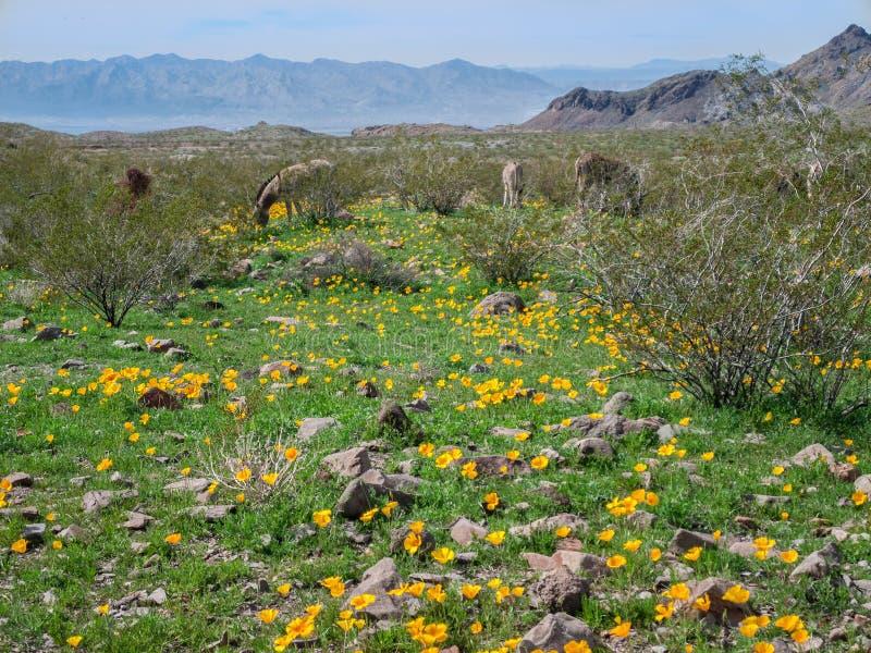 Burros selvaggi nelle montagne nere lungo Route 66 fotografia stock
