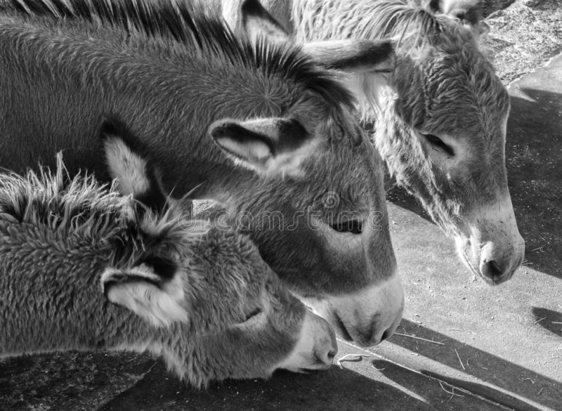 Burros selvaggi, Oatman, Arizona fotografie stock libere da diritti