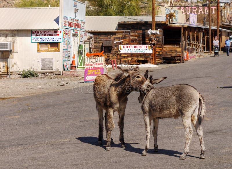 Burros selvaggi, Oatman, Route 66, Arizona immagine stock libera da diritti