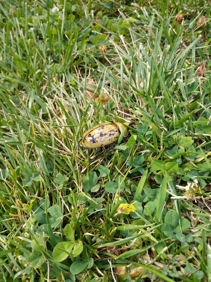 Burrowing Beetle. Green, summer, bug royalty free stock photos