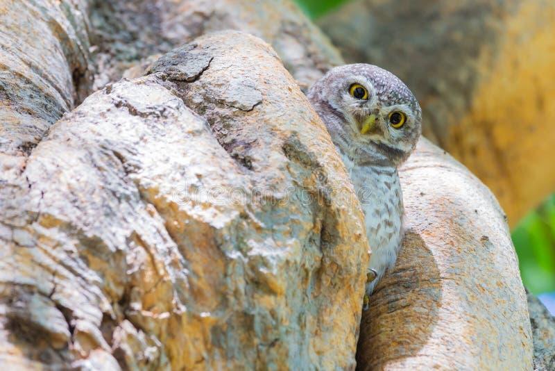 Burrowing gufo (cunicularia delle atene) che sta sul foro dell'albero immagini stock libere da diritti