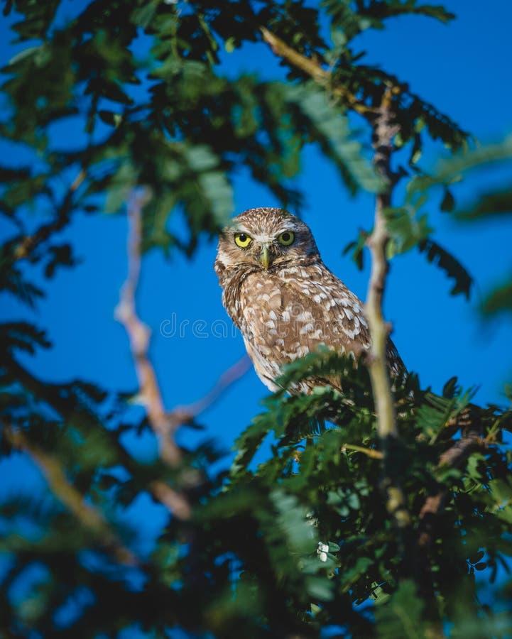 Burrowing gufo in un albero che guarda i suoi giovani fotografie stock