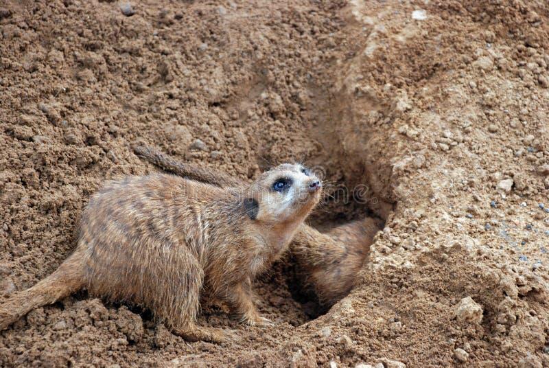 Burrowing Meerkat Mongoose royalty free stock image