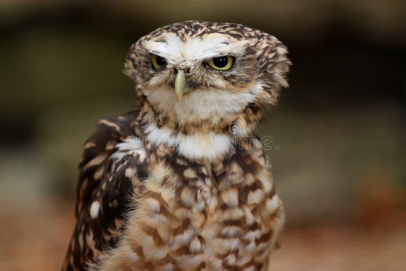 Download Burrowing owl stock photo. Image of bird, prey, owlet - 11123858