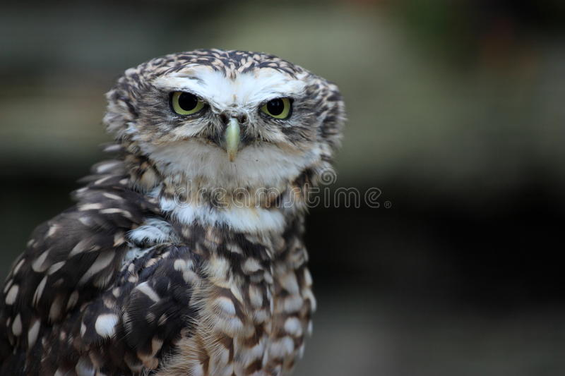 Download Burrowing Owl Stock Photos - Image: 11123953