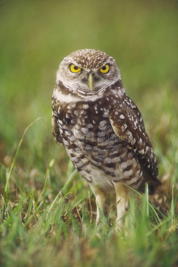 Burrowing Owl. (Athene cunicularia) adult at burrow, Cape Coral, Florida. The  is a candidate for the endangered species list in the United States, and is royalty free stock photo